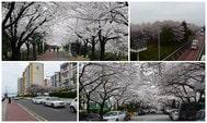釜山櫻花景點推薦與交通指南